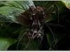 thumbs chinese black batflowers 1 Топ 12. Самые жуткие растения планеты Земля