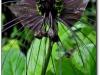 thumbs chinese black batflowers 2 Топ 12. Самые жуткие растения планеты Земля
