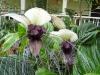 thumbs chinese black batflowers 5 Топ 12. Самые жуткие растения планеты Земля