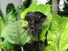 thumbs chinese black batflowers 6 Топ 12. Самые жуткие растения планеты Земля