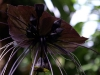 thumbs chinese black batflowers 7 Топ 12. Самые жуткие растения планеты Земля