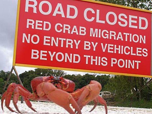 christmas crabs 1 Парад живой природы: миграционное шествие крабов острова Рождества