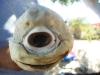 thumbs cyclops shark  5 Зубастый Циклоп: в Мексике поймана одноглазая акула альбинос