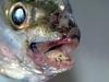thumbs cymothoa exigua 1 Топ 13. Самые страшные паразиты в мире