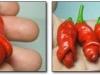 thumbs dick shaped plants 1 Топ 12. Самые жуткие растения планеты Земля