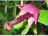 thumbs dick shaped plants 4 Топ 12. Самые жуткие растения планеты Земля