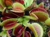thumbs dionaea muscipula 2 Топ 12. Самые жуткие растения планеты Земля