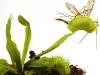 thumbs dionaea muscipula 3 Топ 12. Самые жуткие растения планеты Земля