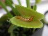 thumbs dionaea muscipula 6 Топ 12. Самые жуткие растения планеты Земля