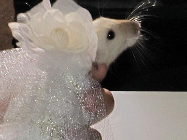 fancy rat convention 1 В Нью Йорке состоялся первый в мире Крысиный показ мод