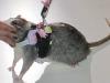 thumbs fancy rat convention 2 В Нью Йорке состоялся первый в мире Крысиный показ мод