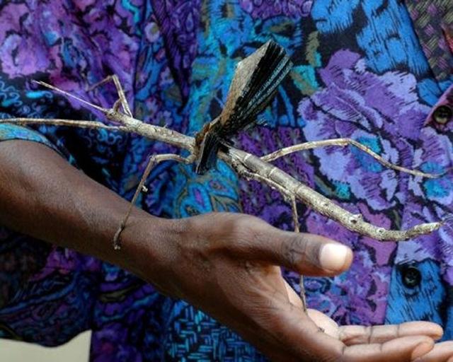 phasmatodea 7 Самые большие насекомые в мире