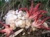 thumbs octopus stinkhorn 1 Топ 12. Самые жуткие растения планеты Земля
