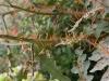thumbs porcupine tomato 4 Топ 12. Самые жуткие растения планеты Земля