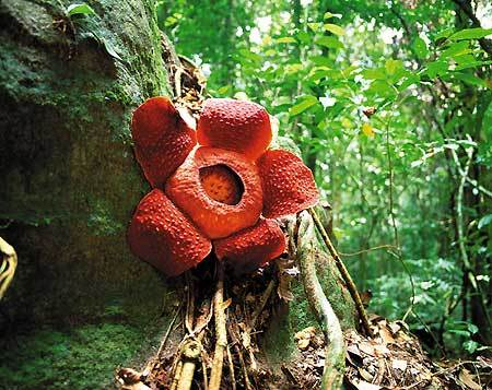 http://unnatural.ru/wp-content/gallery/rafflesia/1.jpg