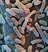 Bacillus F Бактерия, которая увеличит продолжительность человеческой жизни в два раза