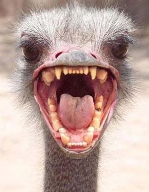 ostrich head Как себя вести при встрече с агрессивно настроенным страусом?
