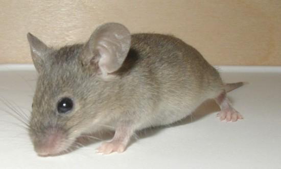 tweeting mouse Японские генетики создали чирикающую мышь