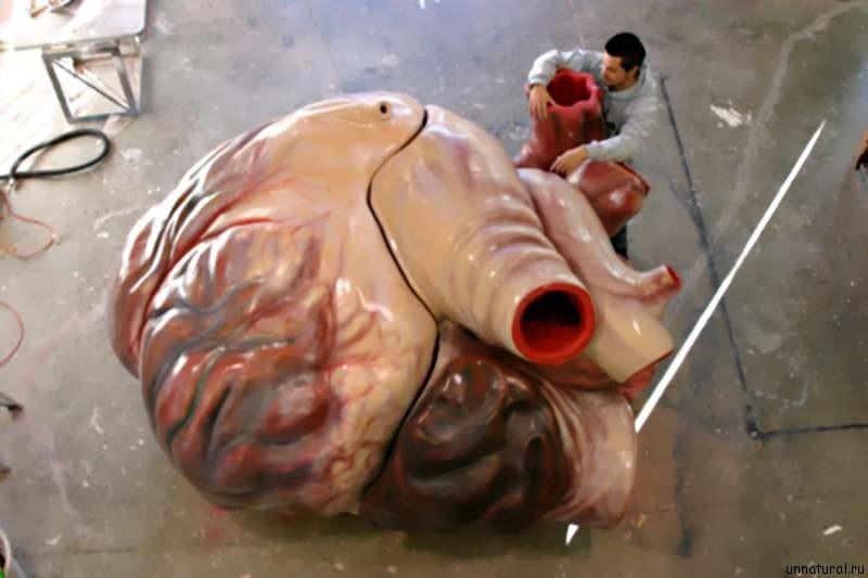 blue whales heart Сравнение мозга и сердца голубого кита на примере макетов, выполненных в масштабе 1:1