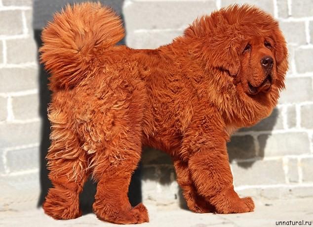 most expensive dog 1 Самая дорогая собака в мире