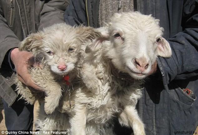 puppysheep 1 Китайский овцепес
