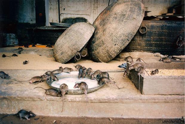Karni Mata rats Карни Мата: Крысиное Святилище