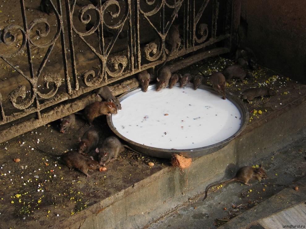 Karni Mata rats 11 Карни Мата: Крысиное Святилище
