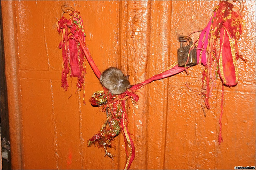 Karni Mata rats 12 Карни Мата: Крысиное Святилище
