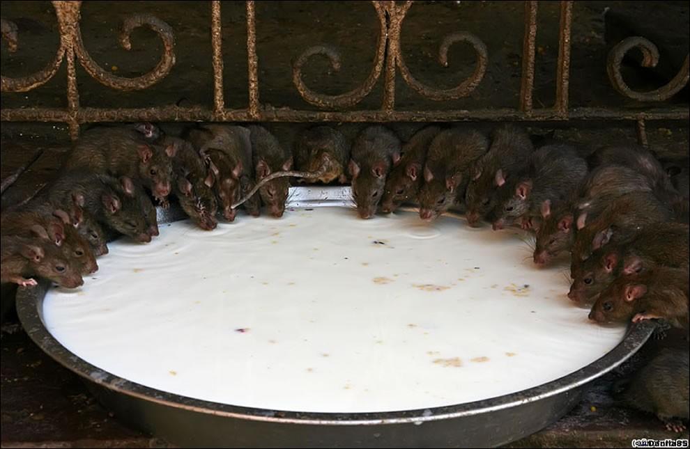 Karni Mata rats 14 Карни Мата: Крысиное Святилище