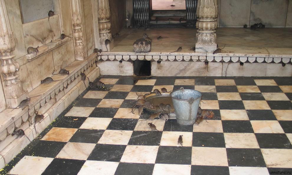 Karni Mata rats 16 Карни Мата: Крысиное Святилище