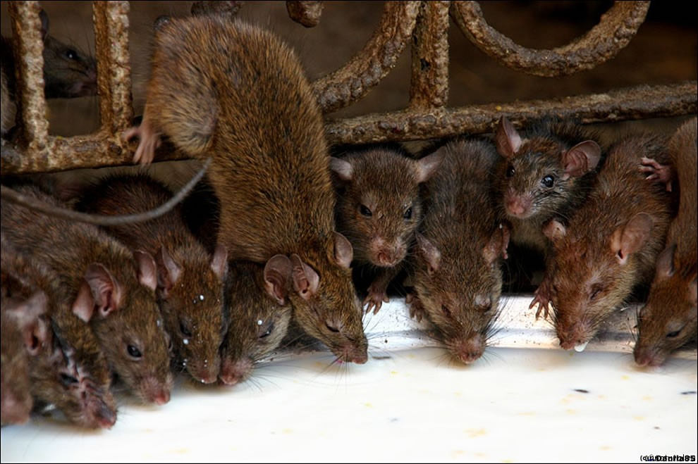 Karni Mata rats 18 Карни Мата: Крысиное Святилище