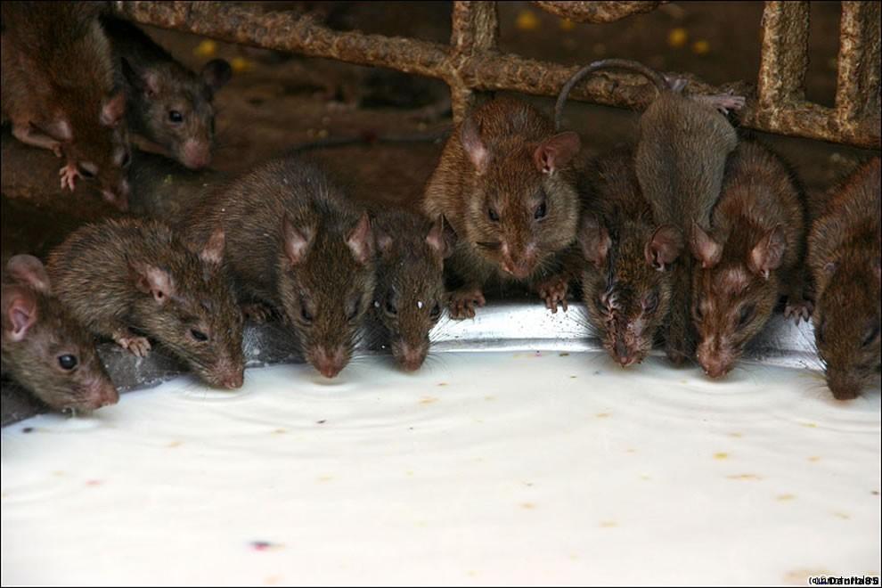 Karni Mata rats 2 Карни Мата: Крысиное Святилище
