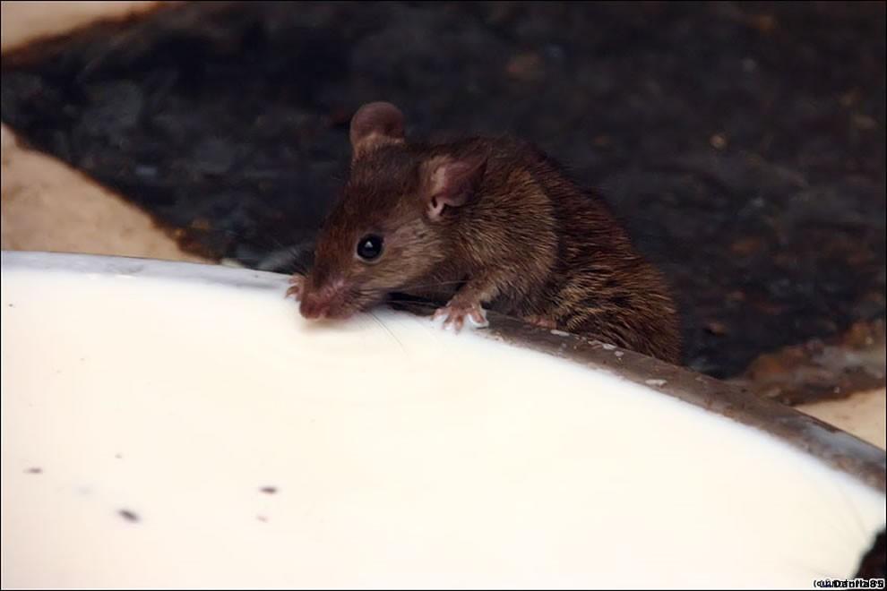 Karni Mata rats 21 Карни Мата: Крысиное Святилище
