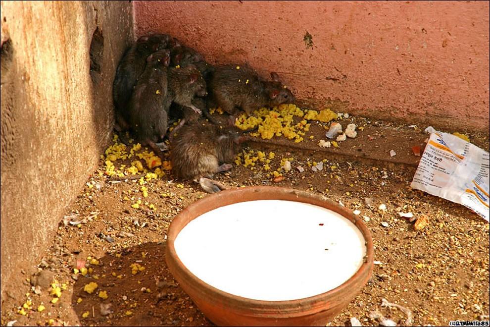 Karni Mata rats 24 Карни Мата: Крысиное Святилище