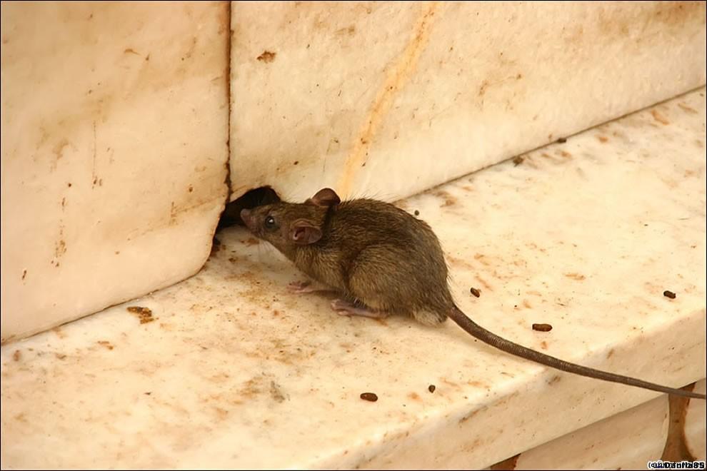 Karni Mata rats 25 Карни Мата: Крысиное Святилище