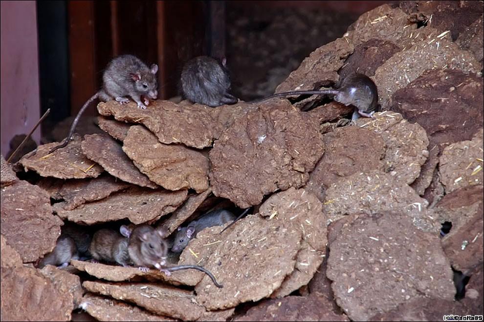 Karni Mata rats 28 Карни Мата: Крысиное Святилище