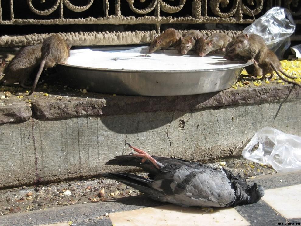 Karni Mata rats 29 Карни Мата: Крысиное Святилище