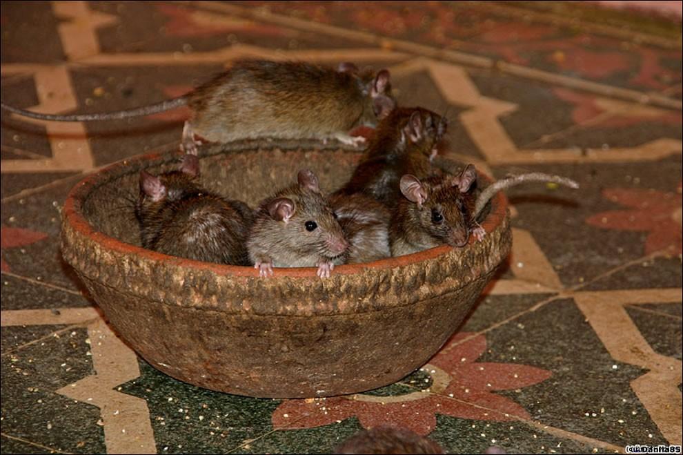 Karni Mata rats 30 Карни Мата: Крысиное Святилище