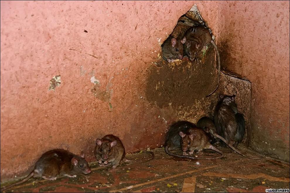 Karni Mata rats 31 Карни Мата: Крысиное Святилище