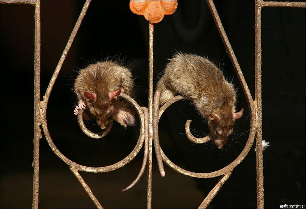 Karni Mata rats 4 Карни Мата: Крысиное Святилище