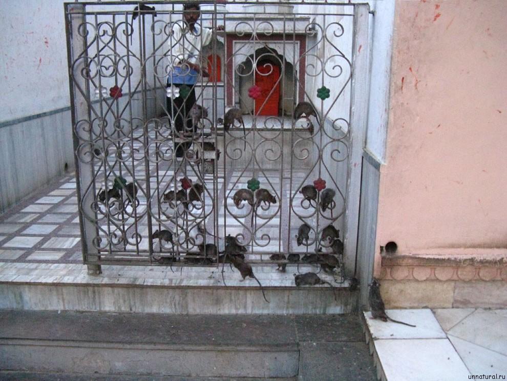 Karni Mata rats 8 Карни Мата: Крысиное Святилище