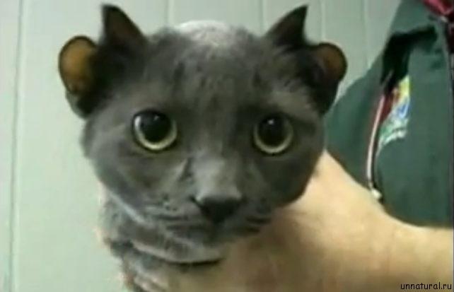 Yoda four ears cat 3 Йода: четырехухий кот