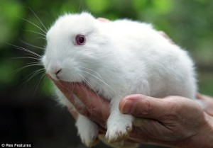 nuclear rabbit 1 300x209 Ядерный кролик. Поврежденный реактор электростанции Фукусима дай ити породил на свет мутанта?