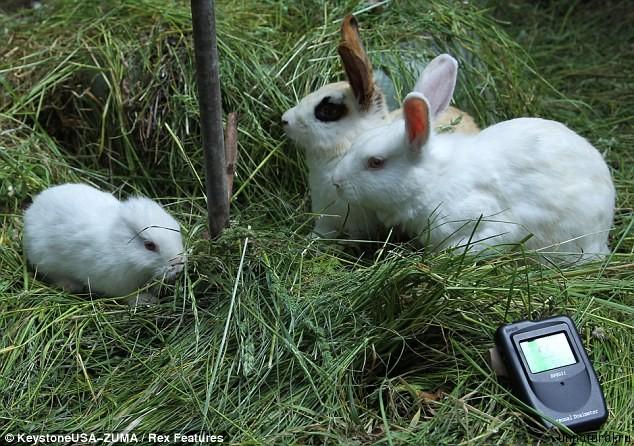 nuclear rabbit 2 Ядерный кролик. Поврежденный реактор электростанции Фукусима дай ити породил на свет мутанта?