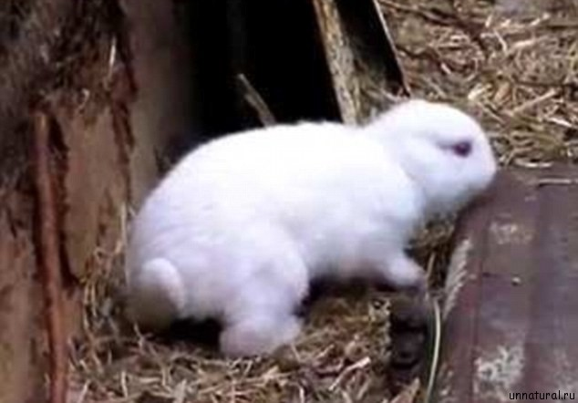 nuclear rabbit 3 Ядерный кролик. Поврежденный реактор электростанции Фукусима дай ити породил на свет мутанта?