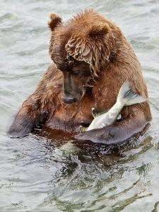 bear siesta 225x300 Презабавнейшая фотография бурой медведицы, решившей устроить сиесту прямо посреди бурной реки