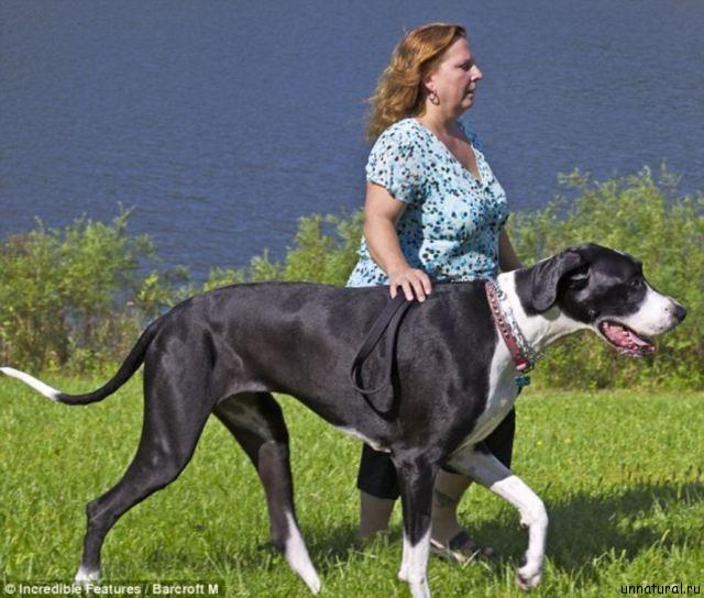 http://unnatural.ru/wp-content/uploads/2011/09/nova_tallest_female_dog_4.jpg