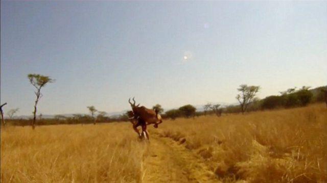 human vs antelope 1 Куда прешь, человече? Чудовищное столкновение велосипедиста с 200 килограммовой антилопой