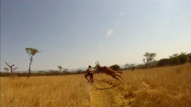 human vs antelope 3 Куда прешь, человече? Чудовищное столкновение велосипедиста с 200 килограммовой антилопой