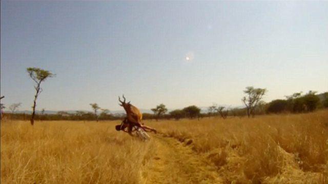 human vs antelope 4 Куда прешь, человече? Чудовищное столкновение велосипедиста с 200 килограммовой антилопой
